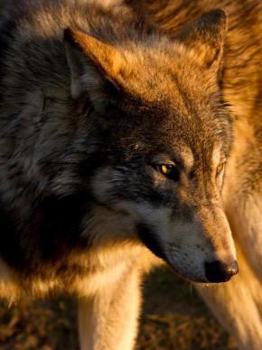 It's Wolf AwarenessWeek!