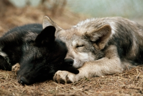 Last Wolf Fact! – Wolves Save Other Species