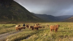 Alladale Estate Highland cattle roam Alladale at the moment ©BBC