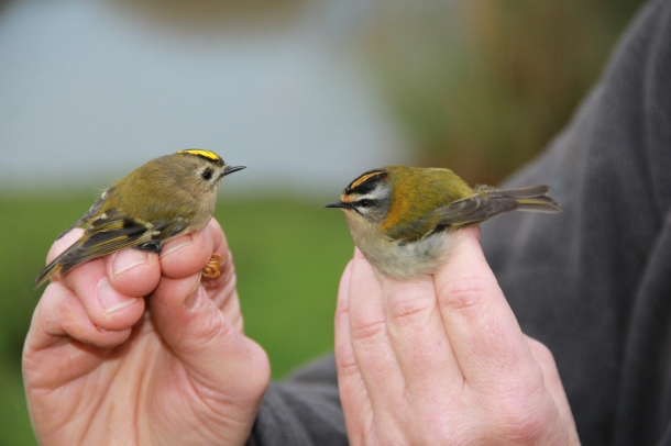 Goldcrest (left) and Firecrest