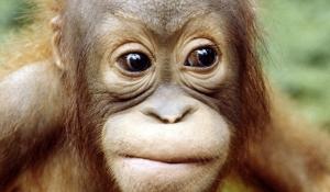 img960x560-orangutan13