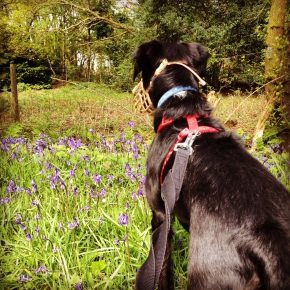 Wordless Wednesday #7. Oscar eyeing up the rabbits among the bluebells!