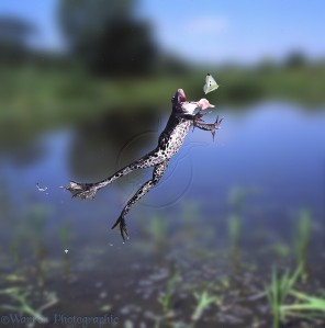 Edible Frog (Rana esculenta) leaping to catch a passing white butterfly.