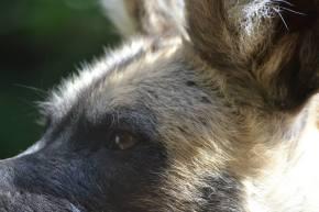 Wordless Wednesday #13. Painted Dog// African Wild Dog Lycaon pictus (Edinburgh,UK)