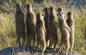 meerkat-stand_1465339i