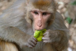 rhesus-eating
