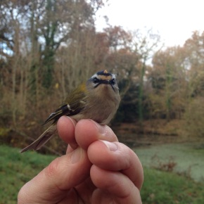 Wordless Wednesday #14. Firecrest (New Forest, UK)