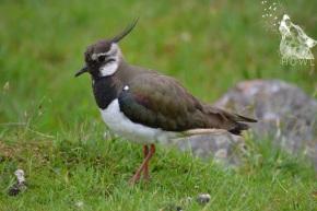 Wordless Wednesday #17. Howl's favourite bird, The Lapwing Vanellus vanellus (NewForest,UK)
