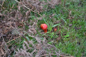 Scarlet waxcap Hygrocybe coccinea