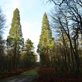 Wordless Wednesday #23. Giant sequoia (New Forest, UK).