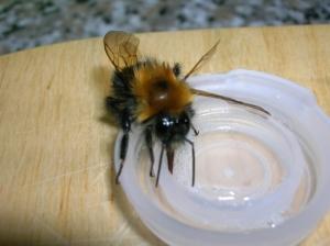 feeding_bumblebee_550_412