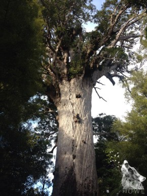 The Ancient Kauri of WaipouaForest
