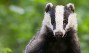 Badger Cull to be Extended into Dorset